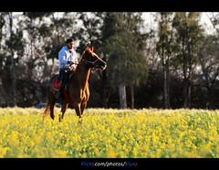 Knight Benghazi (العقوري [ Libya Photographer ]) Tags: knight benghazi مهر جواد ليبيا احصنه خيول مشروع فرسان بنغازي فرص وخيل حصنه