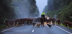on the road 102 (rina sjardin-thompson photography) Tags: road newzealand horses rain fog drive cattle country steam nz southisland farmer westcoast muster countryroad workingdogs southwestland rinathompson