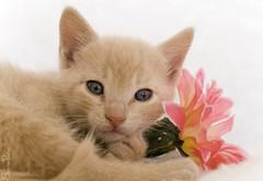 20080816_8974b (Fantasyfan.) Tags: pet flower macro cute animal topv111 closeup pose furry topv333 kitten fluffy toffee fantasyfan elfaba highqualityanimals