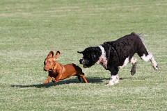 Hounded (Patricia Woods) Tags: park dog dogs play running brisbane stretch dachshund chase oxfordstreet bulimba day226