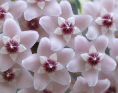 11 of 365 Hoya petals (troublethensome) Tags: superb avenue pictureperfect supershot abigfave anawesomeshot wowiekazowie amazingamateur freenature betterthangood everydayissunday theperfectphotographer natureselegantshots