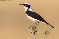 Black eared wheatear -    (arfromqatar) Tags:  birdsofqatar  arfromqatar