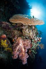 Menjangan walls - POS 2 (Luko GR) Tags: bali coral wall indonesia soft underwater dive hard scuba diving reef menjangan pos2 alcyonaria indonesiadivingunderwaterscubafishcoral