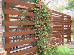 trumpet vine on steel fence