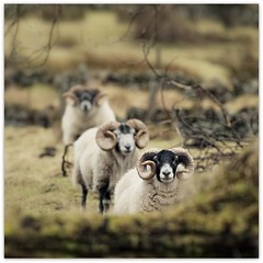 The Scary Sheep! (Samantha Nicol Art Photography) Tags: art wool field animal square scary nikon focus dof sheep bokeh horns curly samantha nicol