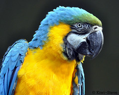 Blue and Yellow Macaw (Kiwi~Steve) Tags: newzealand bird nikon parrot nz blueandgoldmacaw blueandyellowmacaw colorphotoaward nikond90