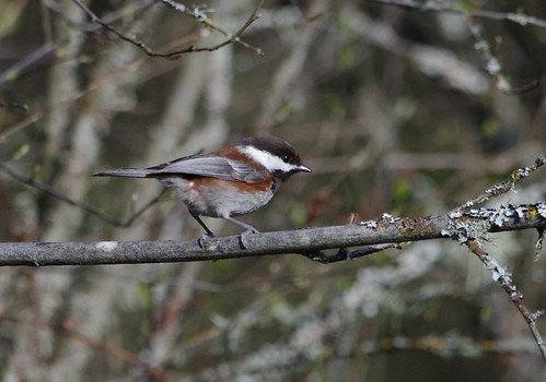 Chestnut Chickadee - Campbell Valley