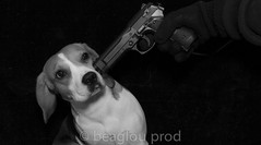 she ate my food (beaglou prod) Tags: dog chien pet france beagle animal canon photography gun wanted vol bry photographe pistolet fleche beaglou beaglouprod