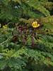 Peltophorum pterocarpum (igomak) Tags: seedpods fabaceae yellowflowers peltophorum copperpod yellowflamboyant peltophorumpterocarpum yellowflametree olympuse30