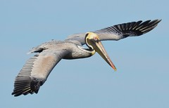 Brown Pelican (mllehmann) Tags: bird nature waterbird pelican brownpelican birdinflight dailynaturetnc11