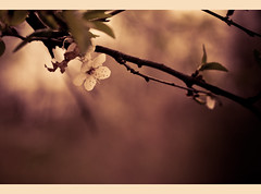 :) (supchi) Tags: tree canon outdoors spring blossom 40d canonef50mm118ii canon40d