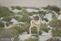 Gazelle (RASHID ALKUBAISI) Tags: nikon 28 nikkor fx f28 d3 doha qatar rashid 400mm        d3x  alkubaisi d3s   ralkubaisi nikond3s mygearandme  wwwrashidalkubaisicom