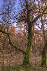 Waiting for spring (klaash63) Tags: winter holland tree netherlands forest mos photographer sony nederland boom alpha bos hdr hdri a77 fotograaf soesterberg heiligenberg photomatix tonemapping klaasheiligenberg klaash63 klaash