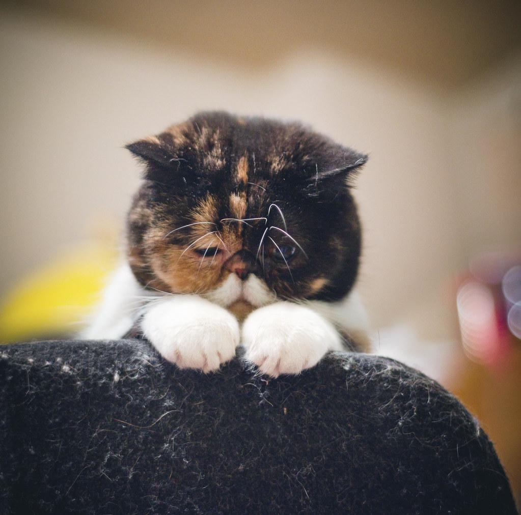 Exotic Shorthair Kitten To Cat Timeline