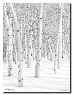 Snow Aspens, Aspendell, CA