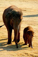 Baby&Mommy (OliviaWoolvertonPhotography) Tags: wild baby cute animals canon zoo mommy safari elephants wildanimals