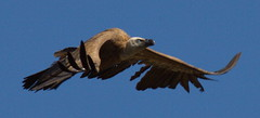 Griffon Vulture with some feathers missing (IanMackie) Tags: vulture griffon