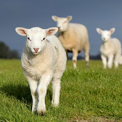 The Silence Of The Lambs (Ger Bosma) Tags: sheep lamb lambs lam gettyimages agnello schaap lambkin agneau cordero thesilenceofthelambs lamm lammetje 33941 mygearandmediamond tplringexcellence havingafriendfordinner flickrstruereflection3 flickrstruereflection4 flickrstruereflection5 eltringexcellence img40697filtereda