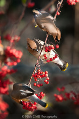 Waxwings at Breakfast (Nick Chill Photography) Tags: california bird nature animal fauna photography nikon sandiego feeding wildlife fineart explore cedarwaxwing animalia avian santee bombycillacedrorum perching stockimage bombycillidae mastpark avianexcellence d300s sigma150500mm nickchill
