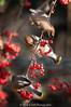 Waxwings at Breakfast (Nick Chill Photography) Tags: california bird nature animal fauna photography nikon sandiego feeding wildlife fineart explore cedarwaxwing animalia avian santee bombycillacedrorum perching stockimage bombycillidae mastpark avianexcellence d300s sigma150500mm nickchill