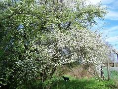 kulturapfelbaum, NGID1589455329 (naturgucker.de) Tags: malusdomestica naturguckerde kulturapfel 915119198 11941622 chelmutschmidt ngid1589455329