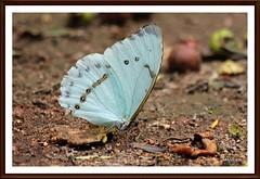 borboleta (Mandeandrade) Tags: folhas butterfly galinha natureza paisagem inseto borboleta hibisco araucária pintinhos hibiscoamarelo mandeandrade