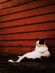 fall asleep (som300) Tags: cat housecat motorola zn5 sibto pet cameraphone
