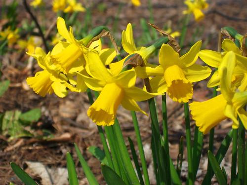 Buttercups Springtime