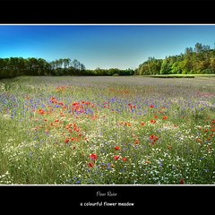 a colourful flower meadow (Peter Roder) Tags: summer sky sun clouds sunrise cornfield sommer himmel wolken poppies sonne sonnenaufgang  kornfeld cornflowers kornblumen mohnblumen