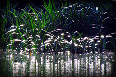 Dancing lights.... (bluemist57) Tags: wetlands laratinga mtbarker