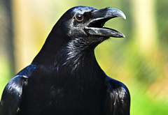 Raven (Andy von der Wurm) Tags: portrait black holland verde bird nature netherlands animal closeup fauna landgraaf nederland tierpark raven schwarz nahaufnahme tier vogel limburg rabe niederlande kerkrade mondo dierentuin dierenpark kolkrabe hobbyphotograph ringexcellence andreasfucke