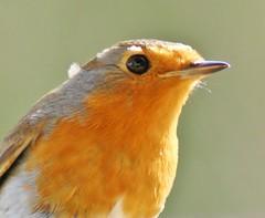 Robin. 'erithacus rubecela' Explored (Paul (Barniegoog)) Tags: red bird nature robin garden countryside country northamptonshire redbreast badby gardenbird erithacusrubecela freedomtosoarlevel1birdphotosonly