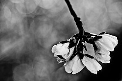 Head over heels (susivinh) Tags: blackandwhite bw music flower macro blancoynegro canon happy dof upsidedown blossom bokeh flor almond happiness bn depthoffield backdrop sappy almendro profundidaddecampo brote tearsforfears soundtrackmonday