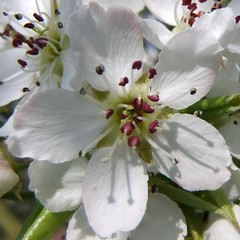 Pear Blossom, Springtime KEW, The Royal Botanical Garden, London @ 24th March 2012 (Part 3 of 3) (Kam Hong Leung 08) Tags: park wood family autumn winter summer kewgardens white plant flower colour tree green london heritage nature ecology girl grass kew fauna woodland garden season insect cherry botanical photography photo kid spring flora education picnic flickr child image blossom wildlife daughter mother meadow royal conservation visit science bee mum greenhouse stamen tropical environment pollen botany grassland visitor wildflower horticulture glasshouse palmhouse springtime biodiversity londonpark temperate stamina princessofwalesconservatory pollinator kamhongleung leungkamhong yourkew naturalneighbourhood tempratehouse friendsofkew