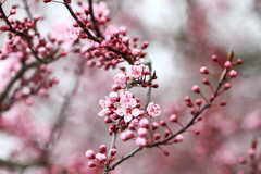 Spring Fever (Peggy Collins) Tags: pink canada spring bokeh britishcolumbia blossoms pacificnorthwest sakura sunshinecoast springtime plumblossoms springfever pinkblossoms peggycollins