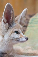 I'm all ears (Tony Emmett) Tags: france nature closeup wildlife sony sigma fox alpha fennec sigma105mmf28macro fennecfox a700 sigma105mm sigma105mmf28exdgmacro sonyalpha donotusewithoutpermission sonyalpha700 minoltaamount