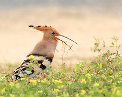 Hoopoe in Kuwait.. (ZiZLoSs) Tags: canon eos kuwait usm hoopoe aziz  abdulaziz    600d f56l zizloss     ef400mm 3aziz almanie abdulazizalmanie canoneos600d