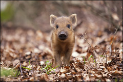 Two week old wild boar (video) (Ben Locke (Ben909)) Tags: nature video wildlife piglets forestofdean wildboar susscrofa