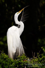 Great Egret Preening - 3908 (floridanaturephotography) Tags: white bird nest florida gorgeous great breeding elegant egret avian greategret daintily floridanature breedingfeathers