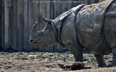 Indische Neushoorn - Rhinoceros unicornis - Indian rhinoceros (MrTDiddy) Tags: female hoorn mammal indian johanna rhinoceros neus neushoorn indische zoogdier unicornis