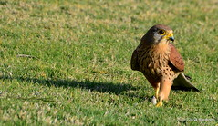 DSC_0252 (rachidH) Tags: nature birds hawk redsea egypt falcon birdsofprey kestrel oiseaux falcotinnunculus commonkestrel faucon fauconcrcerelle ainsokhna rachidh