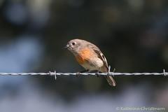 Scarlet Robin female (kasia-aus) Tags: bird nature robin female fence scarlet australia barbedwire canberra