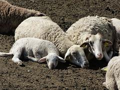 Watching TV (Pintanescu) Tags: family charm tired irony lamb