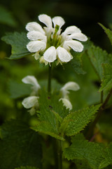 White dead nettle flowering (Dave_A_2007) Tags: deadnettle flower fly insect nature plant wildlife shropshire england