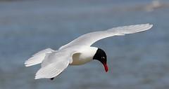 Mediterranean Gull 040516 (6) (Richard Collier - Wildlife and Travel Photography) Tags: birds wildlife gull naturalhistory british mediterraneangull britishbirds
