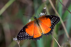 Cethosia biblis - the Red Lacewing (male) (BugsAlive) Tags: macro nature animal butterfly insect thailand outdoor wildlife butterflies insects lepidoptera chiangmai nymphalidae heliconiinae redlacewing cethosiabiblis doisutheppuinp liveinsects thailandbutterflies