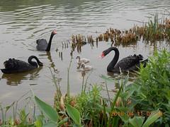 2016_04_11 440 (Gwydion M. Williams) Tags: china chengdu swanlake sichuan blackswan pandas blackswans giantpandareserve