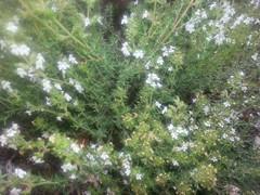 Diaphoretic Herbs (RoblesH) Tags: thyme vulgaris thymus achsedu herb303