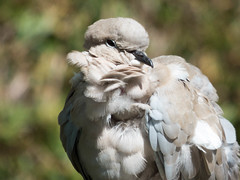 collared dove [explored] (carol_malky) Tags: collareddove explored injuredbyacat
