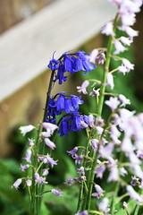 DSC_1135 (PeaTJay) Tags: flowers plants macro nature gardens fauna outdoors reading flora sigma micro closeups berkshire lowerearley nikond750